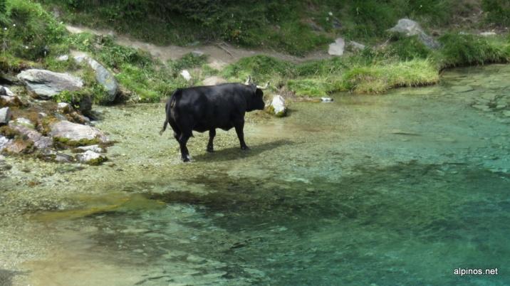 Kuh im Lac Bleu